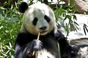 Royal Panda Birthday