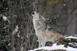 wolf-leovegas