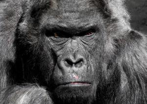 planet-of-the-apes-royal-panda