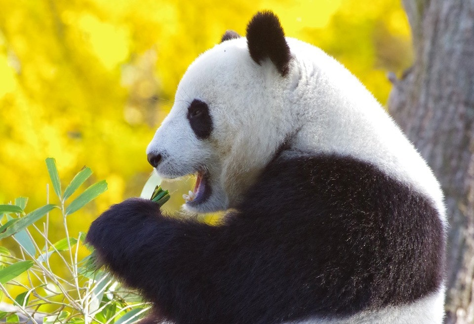 royal panda-microgaming
