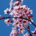 royalrabbit_blossom